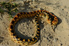 Baja California Gophersnake (brian eagar - very busy - not much time to comment) Tags: mexico cabopulmo baja nature wildlife outdoor outside january 2018 january2018 warmth sun escape vacation getaway