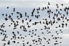 Calidris alpina, _DSC3358 (Francesc //*//) Tags: estol bandada deltadelebro troupeau flock aus aves natura naturaleza nature birds pájaros ocells calidrisalpina territ territvarian correlimoscomún playerocomún dunlin bécasseauvariable