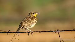 Western Meadowlark [Explored] (Bob Gunderson) Tags: alamedacounty birds california croakroad eastbay icterids northerncalifornia sturnellaneglecta westernmeadowlark meadowlarks depthoffield
