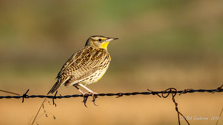 Western Meadowlark [Explored]