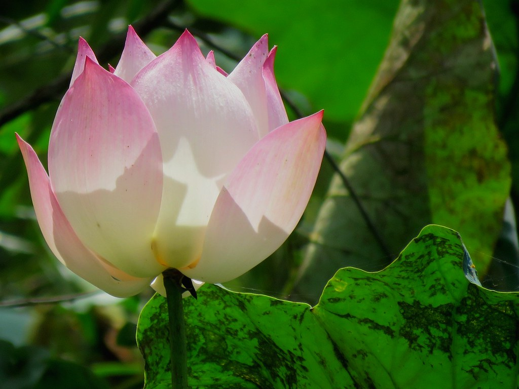The worlds most recently posted photos of beauty and mud flickr lotus flowers siem reap cambodia supe2009 tags symolism lotus pink mud izmirmasajfo