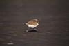 Kentish plover/run!! (yasushiinanaga) Tags: canoneos6d sigma150600mm bird natuer outside japan 三番瀬