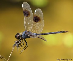 The Only Dragonfly With White Stigmas (Gary Helm) Tags: dragonfly fourspotedpennant gary helm garyhelm ghelm4747 macro insect wings fly flight wildlife outside outdoor photograph image canon camera floridawildlife florida archives bug nature killer