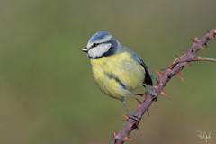 _FN55452 (Polpi68) Tags: cinciarella bird birds birdwatching nature