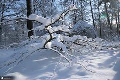 IMG_3942.jpg (iahounou) Tags: 2018 france marne saison nature hiver verzy forêt fauxdeverzy neige grandest europe février fr frges fra february snow arbre hêtretortillard planmoyen météo cadragehorizontal àmainlevée sansflash lumièreambiante lumièredujour végétal matin ballades regroupement couleursfroides