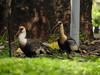 Curicaca (Alexandre Marino) Tags: theristicuscaudatus curicaca brasília brasil aves birds