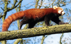 red panda Blijdorp BB2A9011 (j.a.kok) Tags: panda redpanda rodepanda kleinepanda blijdorp animal asia azie china mammal zoogdier dier