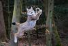 Lynx (Cloudtail the Snow Leopard) Tags: luchs lynx katze cat feline animal tier säugetier mammal beutegreifer predator pinselohr jump jumping sprung springen wildpark pforzheim