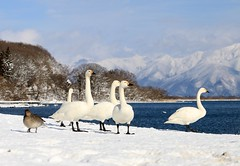 What a beautiful day! (keiko*has) Tags: 7dwf saturday landscape lakeinawashiro mountains snow swans ducks fineday 日本 福島県 猪苗代湖 白鳥