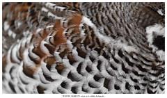 Oh cr*p (Stefan Gerrits aka vanbikkel) Tags: finland canon5dmarkiii canonef70200mmf28lisusmii nature wildlife vanbikkel bird grouse hazelgrouse pyy tetrastesbonasia hazelhen hazelhoen helsinki highkey feather feathers closeup
