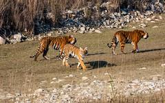 Three is better than two! (ZeePack) Tags: grassland grass animal forest natural wildlife beautiful animals wild tiger tigress cubs corbetttigerreserve dhikala mother sony dscrx10m4 uttarakhand india habitat walking riverbed