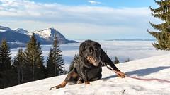 Tu me tiens au lieu de me prendre en photo....!  :-) ! (Elyane11) Tags: loulou chien beauceron valléedelarve montagne brouillard pente glissade