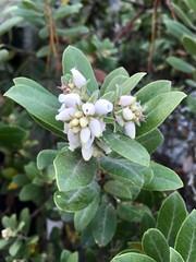 2018.01.06 - manzanita (JBYoder) Tags: arctostaphylos california ericaceae flora flower manzanita monterey