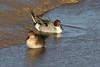 Pintail Pair (Roy Lowry) Tags: newferry rivermersey pintail anasacuta