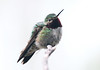 Broad-tailed Hummingbird -- Male (Selasphorous platycercus); Santa Fe National Forest, NM, Thompson Ridge [Lou Feltz] (deserttoad) Tags: bird wildbird newmexico wildlife hummingbird behavior nature nationalforest mountain
