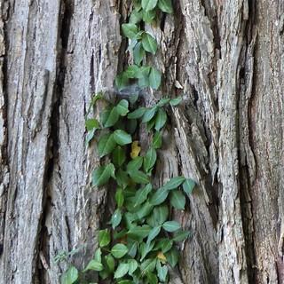 Lisle, IL, Morton Arboretum, Vine Climbing an American Elm Trunk