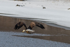 catch of the day (jimmy_racoon) Tags: canon 400mm f56l 7d bald eagle birds flight prey mississippi river bif redwing minnesota nature prime winter canon400mmf56l canon7d baldeagle birdsinflight birdsofprey mississippiriver