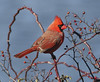 A male Cardinal at the edge of a lake (rivadock4) Tags: male cardinal red lake columbia maryland