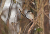 White Crowned Sparrow (thoeflich) Tags: white throated sparrow whitethroatedsparrow january songbirds birds backyardfeeder
