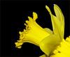 Daffodil 1 (Cornishcarolin. Thank you for over 2 Million Views) Tags: cornwall penryn daffodils flowers nature blackbackground yellow