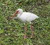 01-22-18-0000357 (Lake Worth) Tags: animal animals bird birds birdwatcher everglades southflorida feathers florida nature outdoor outdoors waterbirds wetlands wildlife wings