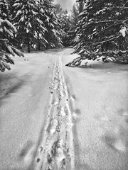 TRACES -  Winter and traces in the snow of a musher & the dogsled (BLEUnord) Tags: laurentides laurentians hiver winter neige snow arbres trees canada province québec sentier path traces dogsled