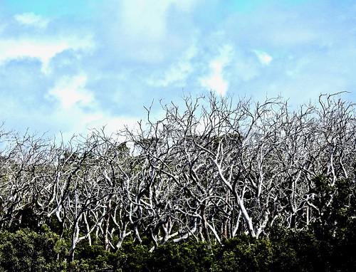 Cape Otway Trees 1
