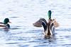 Birds at Play (ray 96 blade) Tags: waterart birdsatplay ducksducking wildlife springwatch groveferry nnr kent