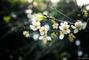 IMG_1586-2 (Haru2212) Tags: flower flora apricot winter canon nature canon450d natural naturalbeauty magic blend blossoms cây cherry sunday landscape ngoàitrời green lightroom vietnam life