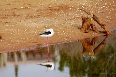 BlackWingedStilt_Head_Back_Pose (hawaza) Tags: bird birds wader blackwingedstilt stilt pose reflection riaformosa algarve portugal