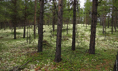 20160612_08 Forest with a shitload of cup lichen (Cladonia sp.) in it | Near Ridderspranget / The Knight's Leap, Norway (ratexla) Tags: ratexla'snorwaytrip2016 norway 12jun2016 2016 canonpowershotsx50hs norge scandinavia scandinavian europe beautiful earth tellus photophotospicturepicturesimageimagesfotofotonbildbilder europaeuropean summer travel travelling traveling norden nordiccountries roadtrip wanderlust journey vacation holiday semester resaresor landscape nature scenery scenic ontheroad sommar norwegian pretty cool biology wild vild vilda life organism lichen botany mycology green grön gröna lav lavar renlav renlavar lavmo lavmark cladonia cladoniasp skog forest wood woods tree trees ashitloadof ridderspranget theknightsleap favorite