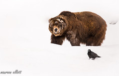 Raven and Grizzly (maureen.elliott) Tags: raven bird grizzlybear winter animals grizzlyandwolfdiscoverycentre westyellowstone