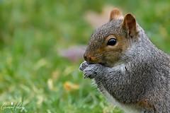 Grey Squirrel (geraintparry) Tags: south wales southwales nature geraint parry geraintparry wildlife cardiff forestfarm forest farm sigma sigma150600 150600 150600mm animal animals grey squirrel squirrels d500