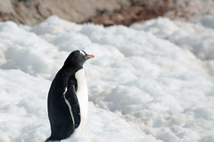 Brown_2017 12 11_2806 (HBarrison) Tags: harveybarrison hbarrison antarctica antarcticpeninsula paradiseharbor brownstation gentoopenguin taxonomy:binomial=pygoscelispapua arctic antarctic arcticantarctic