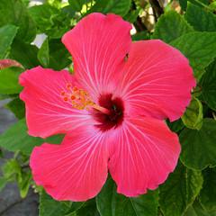 Key West (Florida) Trip 2017 7385Ri sq (edgarandron - Busy!) Tags: florida keys floridakeys keywest hibiscus plants flower flowers