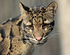 clouded leopard Ouwehands BB2A7268 (j.a.kok) Tags: luipaard leopard cloudedleopard neofelisnebulosa panter panther asia azie nevelpanter ouwehands animal mammal zoogdier dier kat cat specanimal