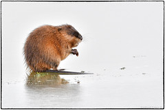 Muskrat (view as large as you can :-)) (RKop) Tags: d500 nikkor600f4evr 14xtciii raphaelkopanphotography fernaldpreserve ohio handheld