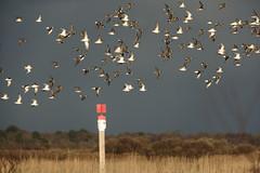 Les bécasseaux dépassent les bornes! (puig patrice) Tags: fuji arcachon oiseaux groupe vol