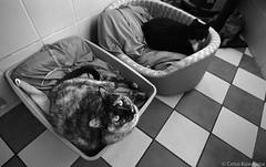 Nina (Celso Kuwajima) Tags: canoneos5 epsonv800 silverfastai ilfordxp2super 1116mmf28 20171135 cat analogphotography tokina bw sãopaulo brazil br