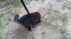 21462835_10213854274937979_2684027532404425783_n (natedetienne) Tags: ash tibetan mastiff puppy tm