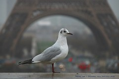 Happy Birthday To Moi......... (law_keven) Tags: paris france birds gulls birthday eiffeltower avian travel holiday vacation