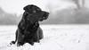 snow mouse (uwe.kast) Tags: labrador labradorretriever labradorredriver hund haustier dog bichou snow schnee black canon canon750d ef2470