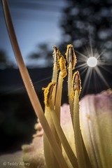 Lily at Sunset (Teddy Alfrey) Tags: lily stamen pistil yellow garden nature sunset anther sun sky