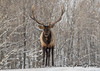 A bull Elk enjoying a walk in the snow (Anne Marie Fraser) Tags: parcomega elk snow snowing mammal forest animal nature