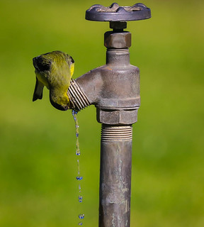 Lesser Goldfinch takes a drink of water  Santa Monica Woodlawn Cemetery 039