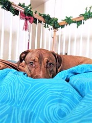Zues (jbridges951) Tags: houstontexas houstontx houston thewoodlands conroetexas conroetx conroe springtexas springtx spring texas brown blue animals pets puppydogs cutedogs doglovers doglover pitbullmix pittie pitbulls pitbull pit puppies puppy dogsofflickr dog dogs