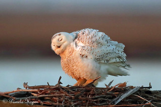 In the gloaming Snowy owl juvenile puffed