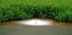 Rosebery Puddle (D J Millard) Tags: rosebery puddle storm water drain wetseason reeds palmerston darwin green nd400