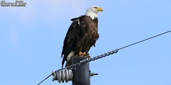 The eagle has landed (Shannon Rose O'Shea) Tags: shannonroseoshea shannonosheawildlifephotography shannonoshea shannon baldeagle eagle bird beak talons feathers wings powerpole powerlines bluesky raptor joeoverstreetroad kenansville osceolacounty florida flickr wwwflickrcomphotosshannonroseoshea nature wildlife art camera photo photography wild wildlifephotography outdoors outdoor canon canoneos80d canon80d eos80d 80d canon100400mm14556lisiiusm haliaeetusleucocephalus colorful profile birdyfeet birdofprey