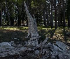 El viejo Eucalipto (M,L.C.*) Tags: parque árbol hierba bosque leña ruina viejo